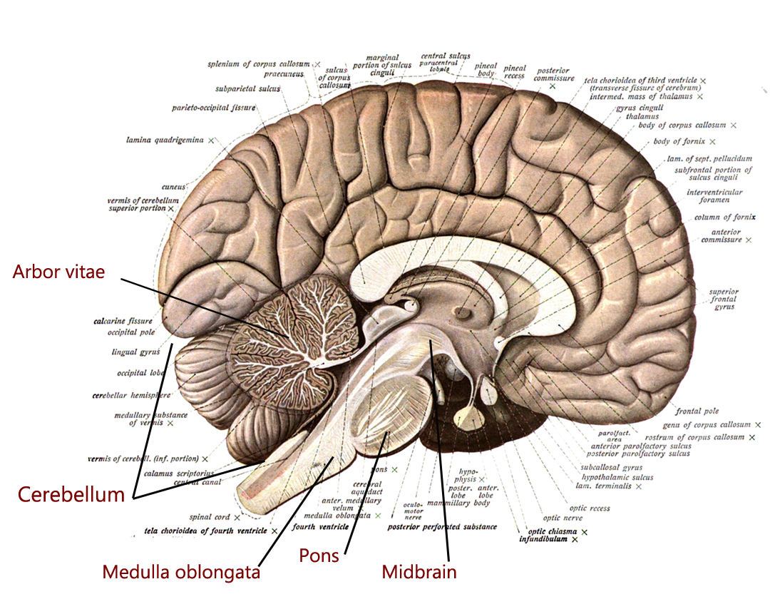The brain stem and the cerebelleum | Human Anatomy and ...