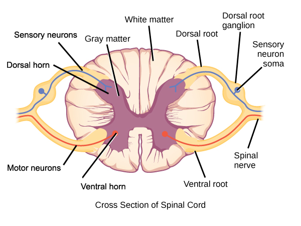Spinal cord cross-section.