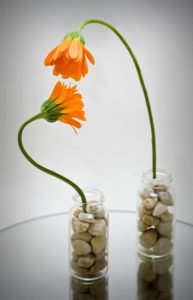 Two orange flowers with long stems placed in separate rock-filled jars. One is bending over the other, as if in coversation