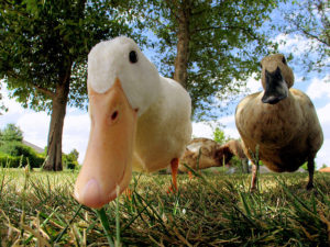 Photo of two ducks scrutinizing the camera