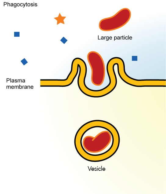 This illustration shows a plasma membrane forming a pocket around a particle in the extracellular fluid. The membrane subsequently engulfs the particle, which becomes trapped in a vesicle.