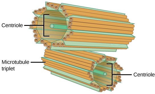 Figure 1. The centrosome consists of two centrioles that lie at right angles to each other. Each centriole is a cylinder made up of nine triplets of microtubules. Nontubulin proteins (indicated by the green lines) hold the microtubule triplets together.
