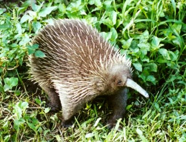 The echidna is a small brown spiney animal. Its spines all face away from the animal's head, and it has a narrow beak.