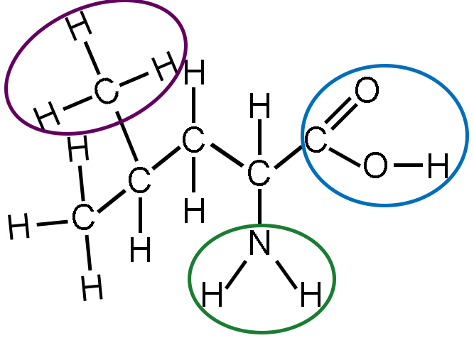 The same diagram of leucine is shown. The carbon atom, which is bound to three hydrogen atoms, at the top of the second carbon is circled in purple. This is the methyl group. The a nitrogen atom, which is bound to two hydrogen atoms, at the bottom of the fourth carbon is circled in green. This is the amino group. The fifth carbon is double bound to an oxygen atom at its top right corner, and at its bottom right corner, it is bound to an oxygen atom, which is bound to a hydrogen atom is circled in blue. This is the carboxyl group. Note that this group includes the final carbon of the carbon backbone.
