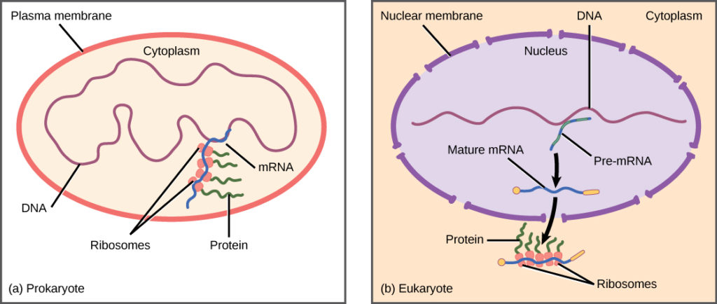 Prokaryotic cells do not have a nucleus, and DNA is located in the cytoplasm. Ribosomes attach to the mRNA as it is being transcribed from DNA. Thus, transcription and translation occur simultaneously. In eukaryotic cells, the DNA is located in the nucleus, and ribosomes are located in the cytoplasm. After being transcribed, pre-mRNA is processed in the nucleus to make the mature mRNA, which is then exported to the cytoplasm where ribosomes become associated with it and translation begins.