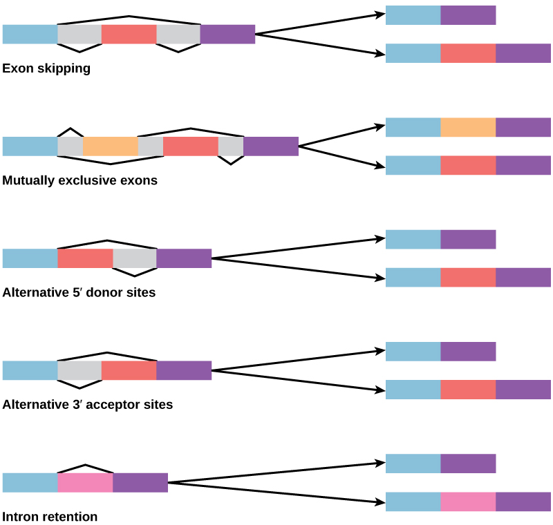 Diagram shows five methods of alternative splicing of pre-mRNA. When exon skipping occurs, an exon is spliced out in one mature mRNA product and retained in another. When mutually exclusive exons are present in the pre-mRNA, only one is retained in the mature mRNA. When an alternative 5′ donor site is present, the location of the 5′ splice site is variable. When an alternative 3′ acceptor site is present, the location of the 3′ splice site is variable. Intron retention results in an intron being retained in one mature mRNA and spliced out in another.