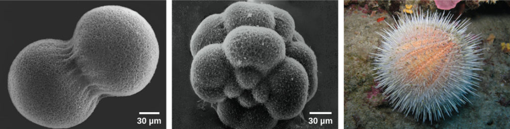 "Image A shows two conjoined cells forming a dumbbell shape; the fertilization envelope has been removed so that the mesh-like outer layer can be seen. Image B shows the sea urchin embryo when it has divided into 16 conjoined cells; the overall shape is rounder than in image A. Image C shows a ""water melon"" sea urchin which appears as a peach-colored ball covered in white protruding spines."
