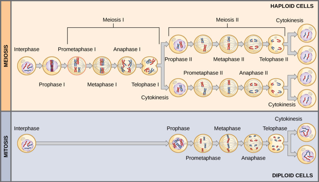 This illustration compares meiosis and mitosis. In meiosis, there are two rounds of cell division, whereas there is only one round of cell division in mitosis.