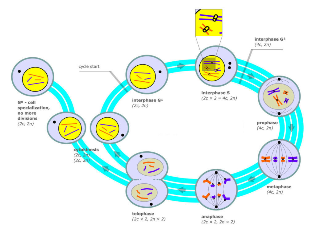 The diagram shows Mitosis and cell division as a cyclic process. The cycle starts at interphase. Interphase is divided into three stages: G1, S, and G2. During interphase, the cell is preparing to divide; DNA is duplicated, creating sister chromatids. Interphase is followed by the mitotic cycle, mitosis and cytokinesis. Mitosis is a process in which a diploid cell nucleus divides itself (duplicates) into 2 diploid nuclei. The first stage is prophase, during which the nucleus begins to disappear. The next stage is metaphase. During this phase, all sister chromatids are aligned in the center of the cell. Next is anaphase. During this phase, the sister chromosomes are all split. Next is telophase. A new nucleus is formed around each set of chromatids. The two nuclei are divided from each other, creating two new cells in a process called cytokinesis. Each new cell is now ready to being the cycle again.