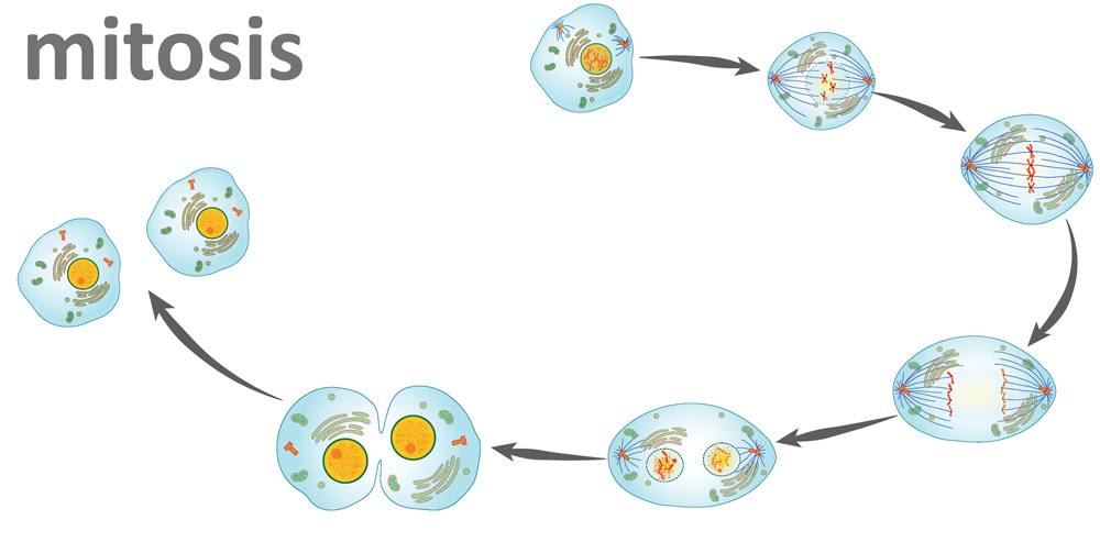 A cell going through the six stages of mitosis