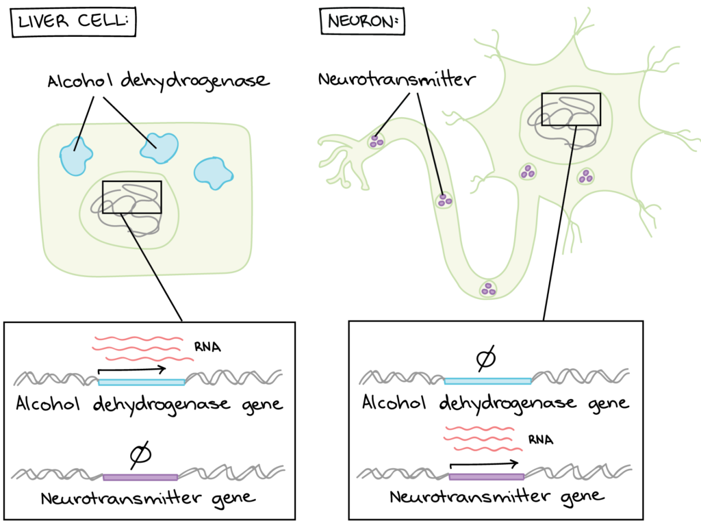 Left panel: Liver cell. The liver cell contains alcohol dehydrogenase proteins. If we look in the nucleus, we see that the alcohol dehydrogenase gene is expressed to make RNA, but the neurotransmitter gene is not. The RNA is processed and translated, which is why the alcohol dehydrogenase proteins are found in the cell. Right panel: neuron. The neuron contains neurotransmitter proteins. If we look in the nucleus, we see that the alcohol dehydrogenase gene is not expressed to make RNA, while the neurotransmitter is. The RNA is processed and translated, which is why the neurotransmitter proteins are found in the cell.