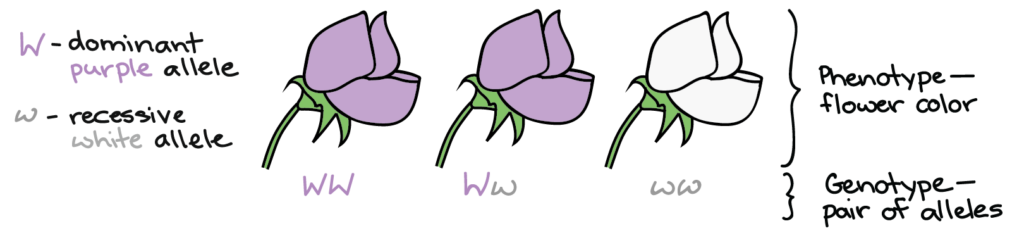 The phenotype is the flower color. The genotype is a pair of alleles. A capital W indicates the dominant purple allele. A lowercase w indicates the recessive white allele. A flower with two capital Ws in its genotype will be purple. A flower with a capital W and lowercase w genotype will be purple. A flower with two lowercase ws in its genotype will be white.