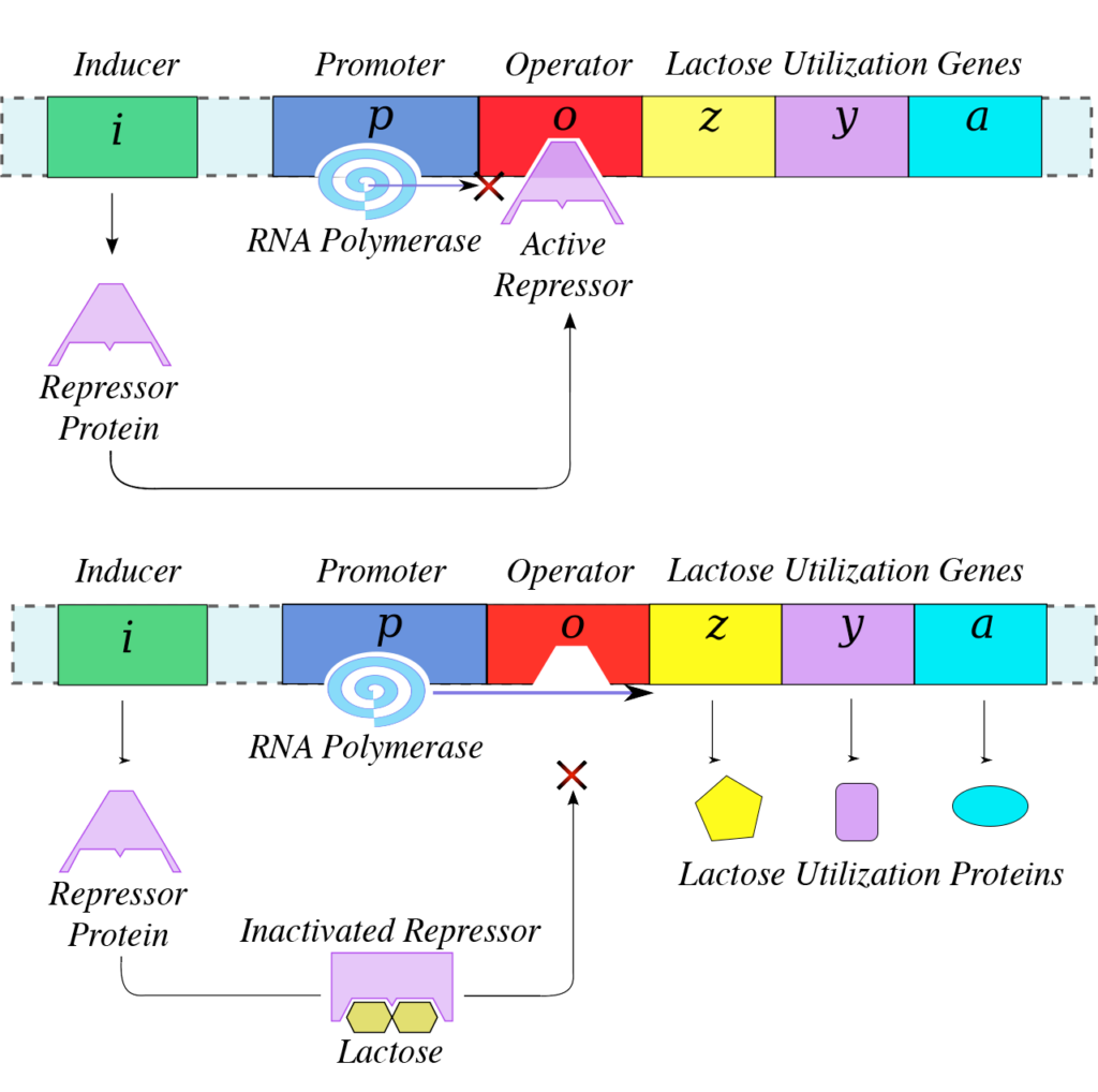 An illustrated gene sequence of Inducer, Promoter, Operator, and Lactose Utilization Genes (z, y, a) are each colored differently. The RNA polymerase is attached to the promoter sequence. The lac operon moves from the Inducer to attach to the Operator sequence. The RNA polymerase cannot move forward up the gene sequence. In the second illustration the gene sequence is the same except there is lactose bound to the lac operon causing it to detach from the Operator sequence and the RNA polymerase can then move forward and the Lactose Utilization Genes are then made.