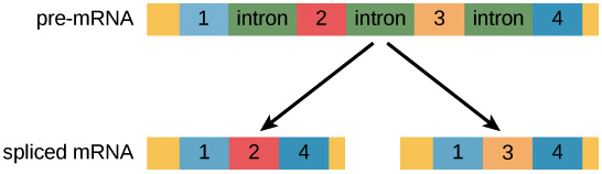 Diagram of a pre-mRNA being spliced into two different variants. There are four possible exons in the pre-mRNA: 1, 2, 3, and 4 Variant 1 contains exons 1, 2, and 4, but not exon 3. Variant 2 contains exons 1, 3, and 4, but not exon 2.