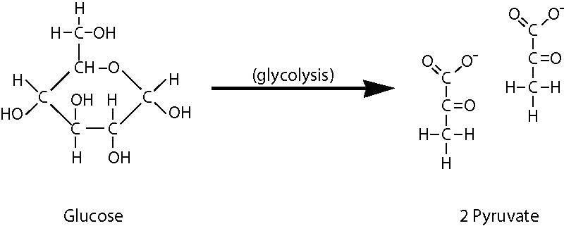 Glycolysis begins with a glucose molecule and ends with two pyruvate molecules