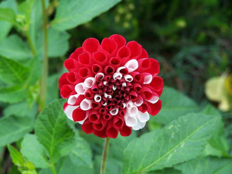 A flower with red and white petals. The petals are distinctly colored.