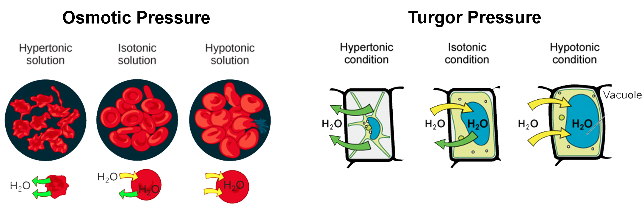 Part a: osmotic pressure. The left part of this illustration shows shriveled red blood cells bathed in a hypertonic solution. The middle part shows healthy red blood cells bathed in an isotonic solution, and the right part shows bloated red blood cells bathed in a hypotonic solution. Part b: turgor pressure. The left part of this image shows a plant cell bathed in a hypertonic solution so that the plasma membrane has pulled away completely from the cell wall, and the central vacuole has shrunk. The middle part shows a plant cell bathed in an isotonic solution; the plasma membrane has pulled away from the cell wall a bit, and the central vacuole has shrunk. The right part shows a plant cell in a hypotonic solution. The central vacuole is large, and the plasma membrane is pressed against the cell wall.