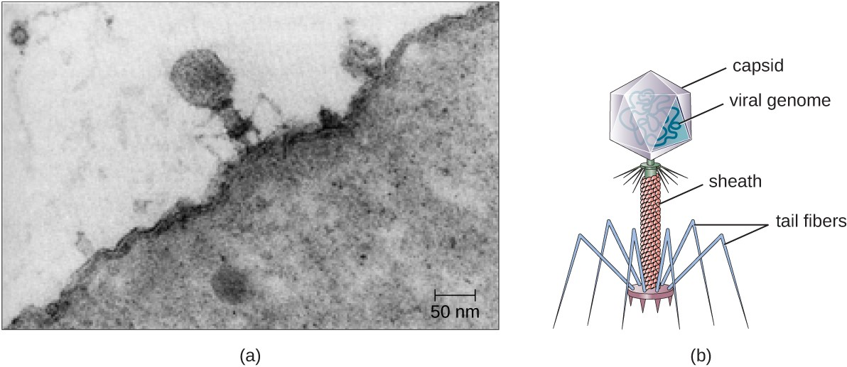 Figure a is an electron micrograph showing a virus on the surface of a bacterial cell. The virus has a large head region, a thick neck and thin spider-like legs attached to the bacterium. Figure b is a drawing that labels the outside of the head as the capsid with the viral genome inside. The neck as the sheath and the legs as tail fibers.