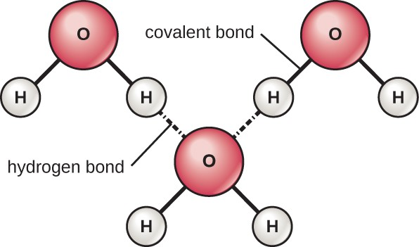 Three water molecules are shown. The atoms of each water molecule (hydrogen and oxygen) are connected by a covalent bond. The water molecules are connected by hydrogen bonds.