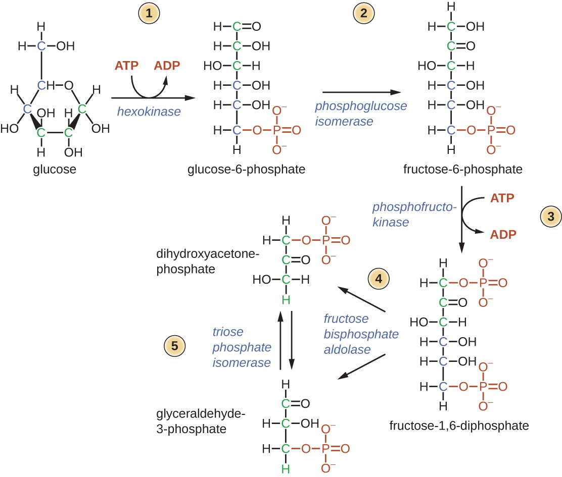 Metabolic pathways microbiology diagram of first half of glycolysis glucose is a 6 carbon sugar it is ccuart Choice Image