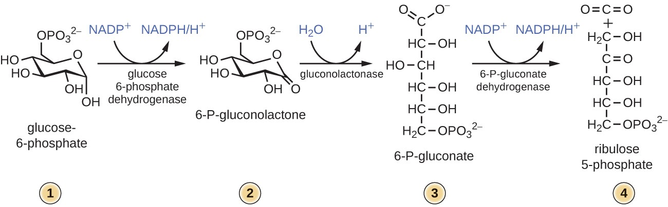 Step 1: Glucose-6-phosphate is a 6 carbon molecule in ring formation with a phosphate group at carbon 6. Step 2: Glucose 6-phosphate dehydrogenase converts glucose-6-phosphate to 6-P-gluconolactone thereby producing NADPH/H+ from NADP+. Step 3: Gluconolactonase converts 6-P-gluconolactone to 6-P-gluconate by hydrolysis. Step 4: 6-P-gluconate dehydrogenase converts 6-P-gluconate to ribulose 5-phosphate thereby producing NADPH/H+ from NADP+.