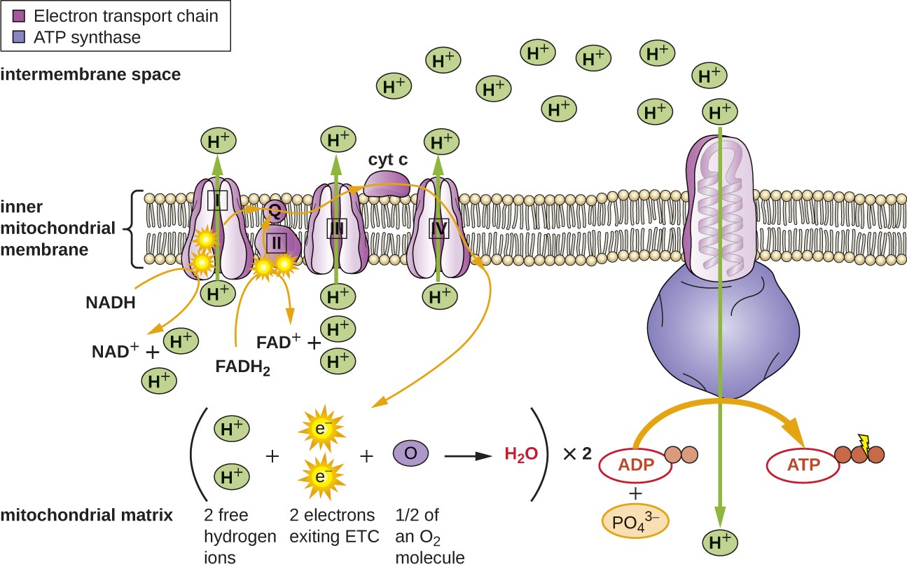 The inner membrane of the mitochondria is shown. On the membrane are a series of proteins in a row and a large protein off to one side. In the inner mitochondrial matrix is the overall equation showing 2 free hydrogen ions + 2 electrons exiting ETC + ½ of an O2 molecule produce water. This happens twice. The diagram shows 2 electrons on the first protein in the chain. These electrons come from the splitting of NADH to NAD+. The electrons are then moved to the next protein in the chain, and down the line of 5 proteins in the electron transport chain. Electrons can also be added to the chain on the second protein from the splitting of FADH2 into FAD+. As the electrons are passed through proteins 1, 3, and 5 protons (H+) are pumped across the membrane. These protons can then flow back to the mitochondrial matrix through ATP synthase. As they flow through ATP synthase, they allow for the production of ATP from ADP and PO4,3-.