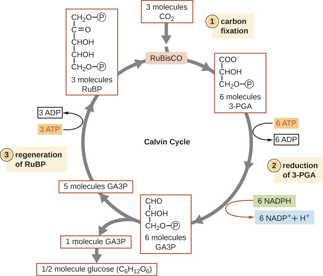 Step 1: Carbon fixation. Three molecules of CO2 enter the cycle. Rubisco combines them with 3 molecules of RUBP (a 5 carbon molecule with a phosphate group on either end. This produces 6 molecules of 3-PGA (a 3 carbon molecule with a phosphate at carbon 3. Step 2: reduction of 3-PGA. The 3-PGA molecules are converted to 6 molecules of GA3P by removing one of the oxygens on carbon 1. This process also uses 6 molecules of ATP (producing ADP) and 6 molecules of NADPH (producing NADP+ + H+). Step 3: Regeneration of RuBP. Five of the 6 molecules of GA3P are converted to 3 molecules of RuBP. The sixth Ga3P is converted to ½ molecule glucose (C6H12O6). The production of RuBP also uses 3 ATP (producing 2 ADP). This brings us back to the top of the cycle.