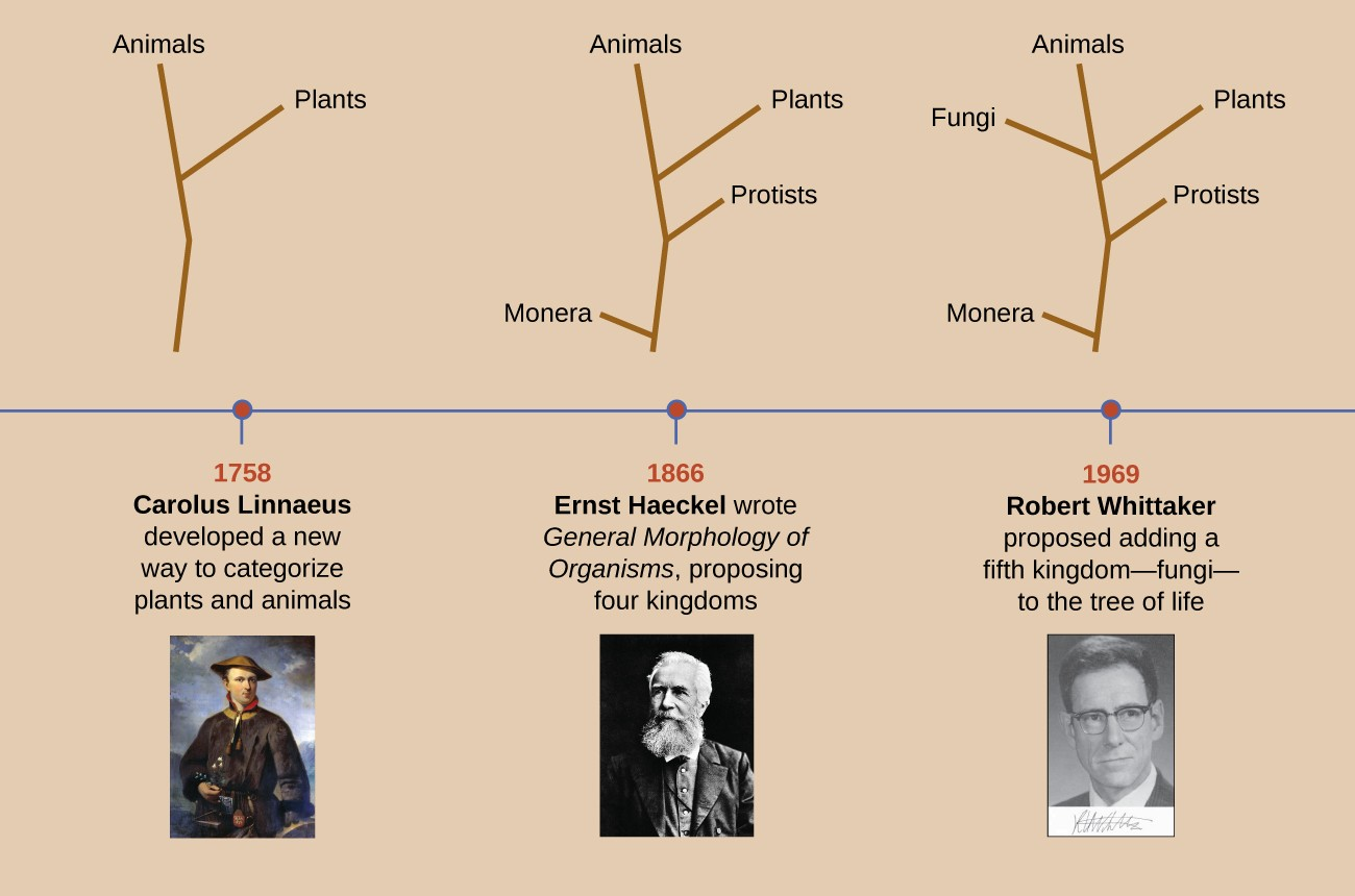 This timeline begins with Carolus Linnaeus who developed a new way to categorize plants and animals in 1758. The image above Linnaeus shows a forked line with one branch labeled plants and the other labeled animals. In 1866, Ernst Haeckel wrote General Morphology of Organisms, proposing four kingdoms. The image above Haeckel shows a central line with Monera branching off the bottom, protists branching off next, then plants and finally animals. In 1969 Robert Whittaker proposed adding a fifth kingdom – fungi – to the tree of life. The image above Whittaker is the same as the one above Haeckel but includes an additional branch labeled fungi between plants and animals.