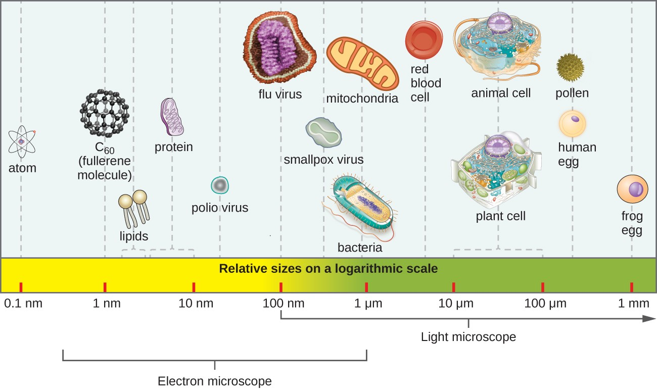 Types of microorganisms microbiology a bar along the bottom indicates size of various objects at the far right is ccuart