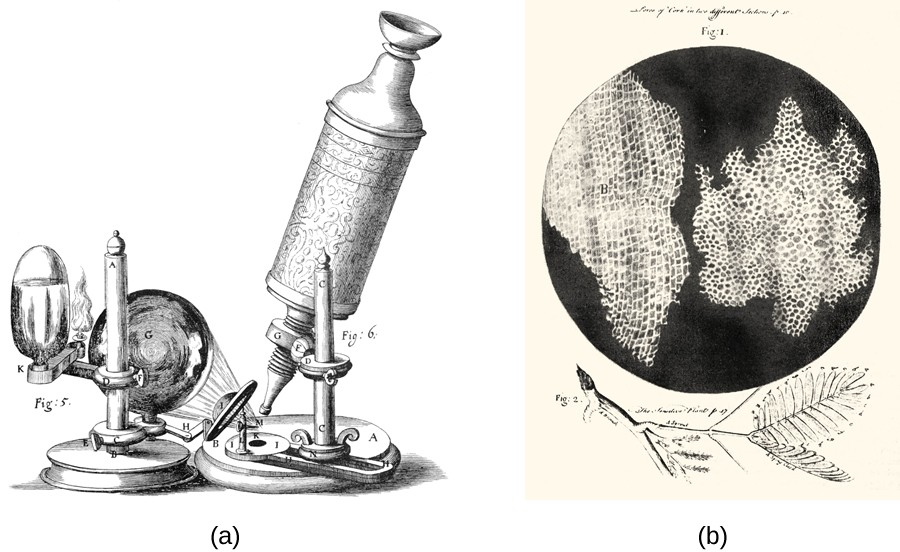 The microscope drawing in a shows a tube with an eyepiece at the top and a small lens pointed at the circle on the base of the apparatus. A larger lens focuses light from a candle at the circle on the base of the apparatus. Figure b shows a drawing of a leaf at the bottom above that is a black circle with two large, irregular shaped regions. Each of these regions is filled with tiny white rectangles arranged in rows.