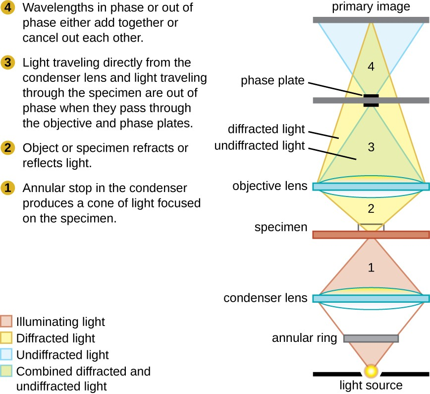Instruments of microscopy microbiology a diagram shows the path of light through a phase contrast microscope light from ccuart Images
