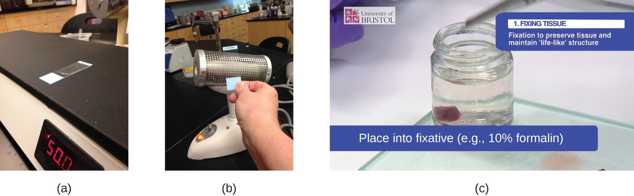 Photograph a shows a slide sitting on a flat heating surface. Photograph b shows a person holding a slide against a heated metal cylinder. Photograph c shows a bit of tissue in a container of clear liquid. Caption reads Fixing tissue: fixation to preserve tissue and maintain life-like structure; place into fixative (eg 10% formalin).