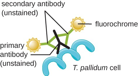 Fluorochromes are attached to secondary antibodies (unstained). Two secondary antibodies are attached to a single primary antibody (unstained). The primary antibody is attached to a spiral labeled T. pallidum cell