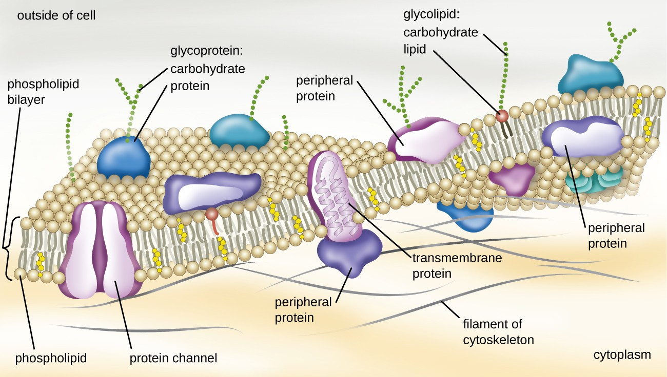Unique Characteristics Of Prokaryotic Cells Microbiology Model Further Simple Plant Cell Diagram On Animal Wall A Drawing The Plasma Membrane Top Is Labeled Outside
