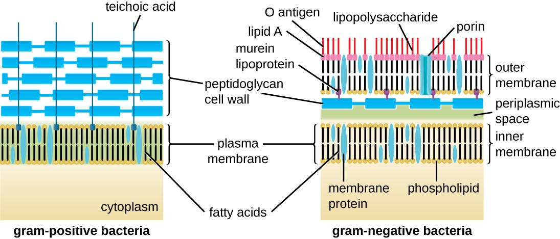 Unique characteristics of prokaryotic cells microbiology the gram positive bacterial cell wall diagram shows a plasma membrane on top of the ccuart Gallery