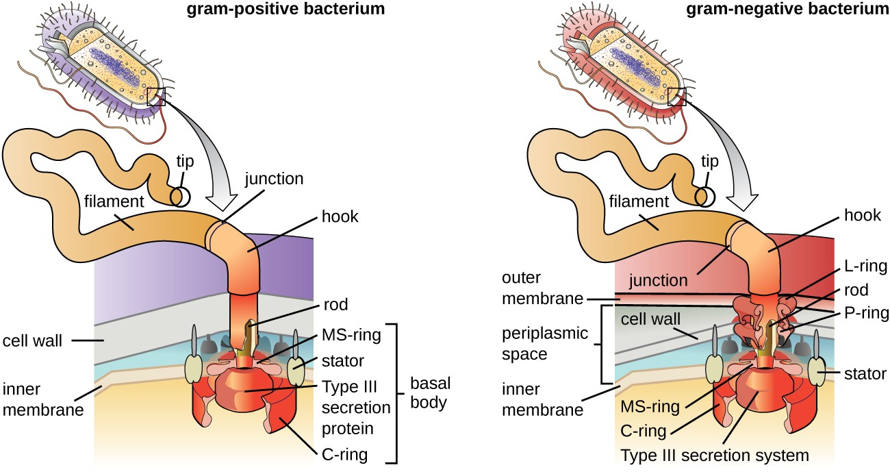 Unique characteristics of prokaryotic cells microbiology a diagram showing the attachment point of flagella in gram positive and gram negative ccuart Images