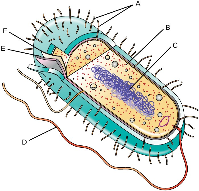 Unique characteristics of prokaryotic cells microbiology a diagram of a bacterial cell the thick outer structure of the cell is not ccuart Gallery