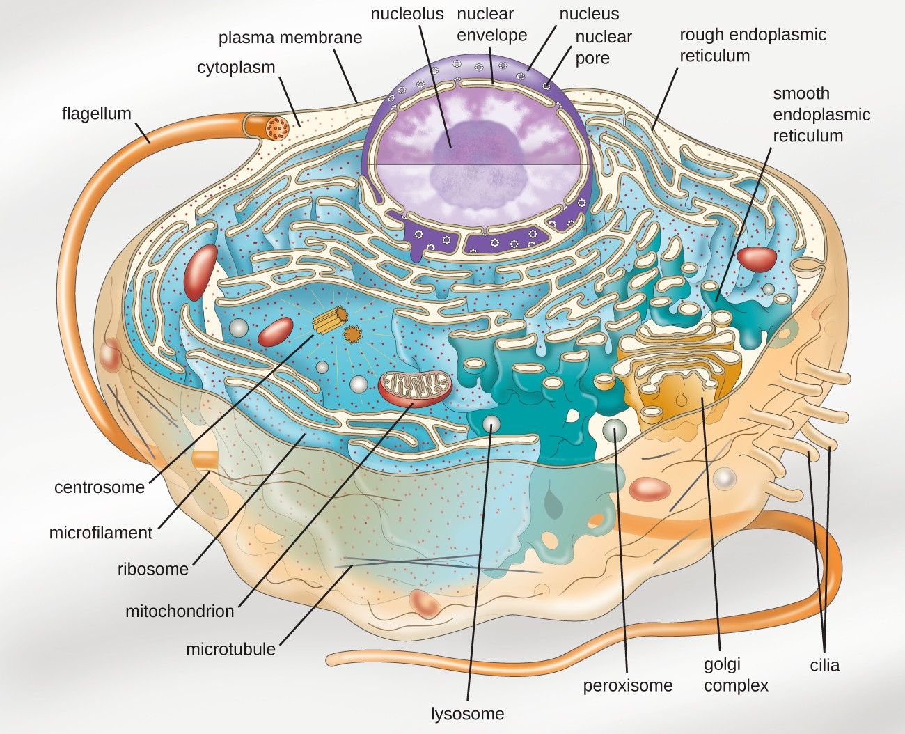 unique characteristics of eukaryotic cells microbiology rh courses lumenlearning com eukaryotic animal cell diagram labeled Eukaryotic Cell Diagram Worksheet