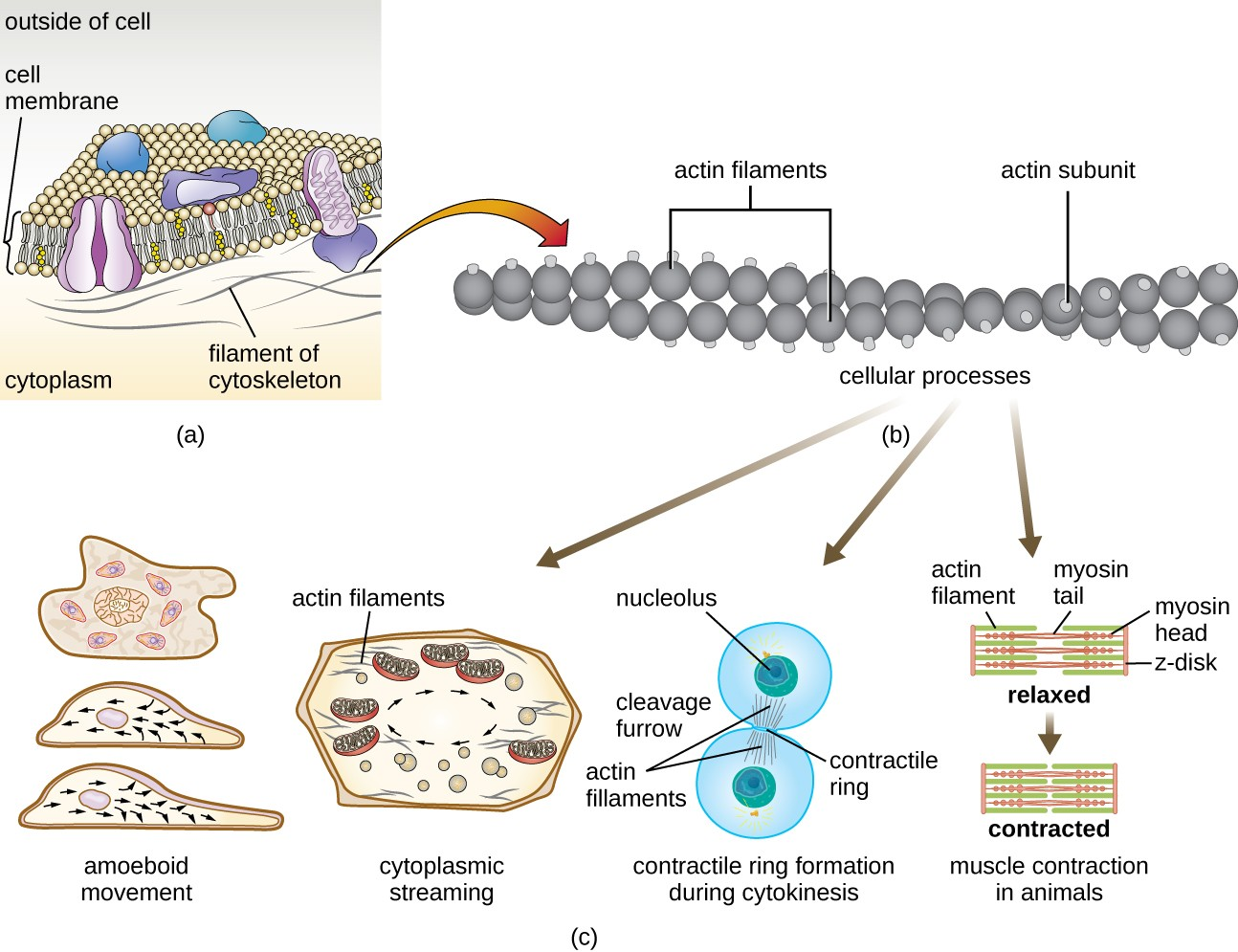 Unique Characteristics Of Eukaryotic Cells Microbiology Functional Anatomy Prokaryotic And A Diagram The Plasma Membrane Shows Filaments Cytoskeleton As Thin
