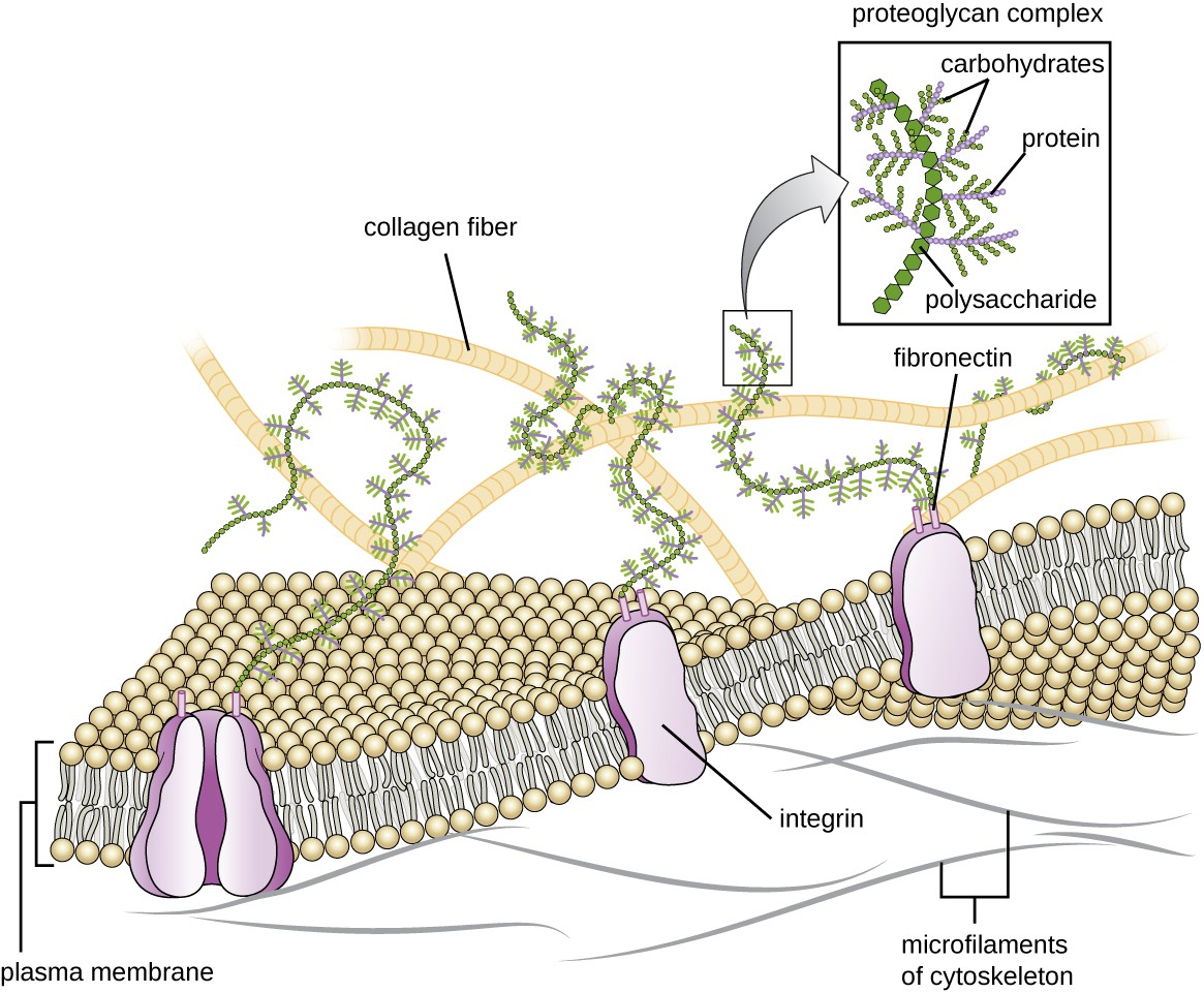 A drawing of the plasma membrane with proteins shown in the membrane. One of these proteins is labeled integrin. Attached to this and other proteins are long strands made of a chain of hexagons labeled polysaccharides. Branches off this chain of hexagons are labeled proteins and branches of the proteins are labeled carbohydrates. These proteoglycan complexes (made of polysaccharides, proteins, and carbohydrates) are attached to proteins in the membranes via fibronectins. Larger chains on the outside of the membrane are not visibly attached to the membrane and are labeled collagen fibers. Smaller chains on the inside surface of the membrane are labeled microfilaments of cytoskeleton.