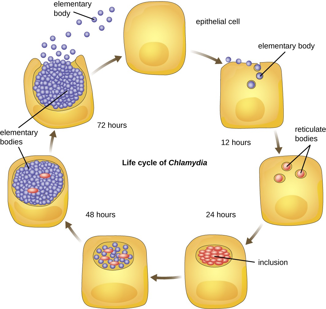A diagram showing the life cycle of Chlamydia. An epithelial cell is infected by small spheres labeldd elementary bodies. Within 12 hours, these form into reticulate bodies which divide to form inclusions within 24 hours. Within the inclusions more elementary bodies are formed and within 72 hours these are released when the cell ruptures.