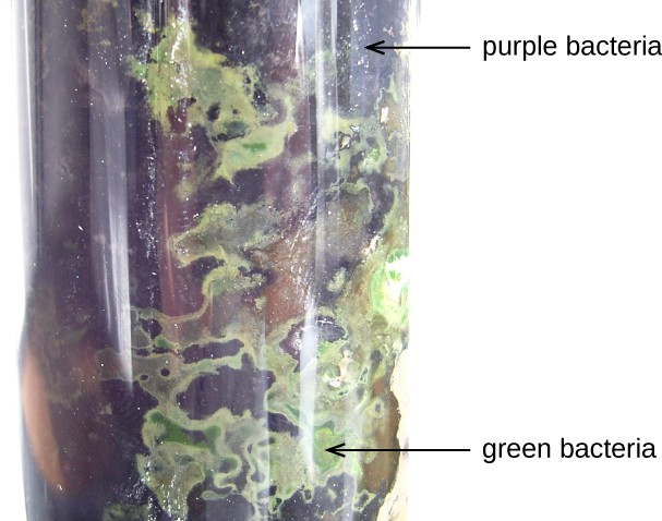 A thick glass tube filled with purple regions labeled purple bacteria and green regions labeled green bacteria.