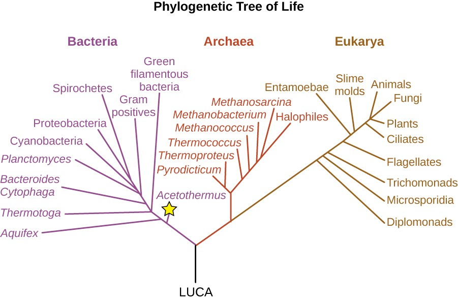 Deeply branching bacteria microbiology a diagram of a phylogenetic tree at the base is the label luca this branches ccuart Gallery