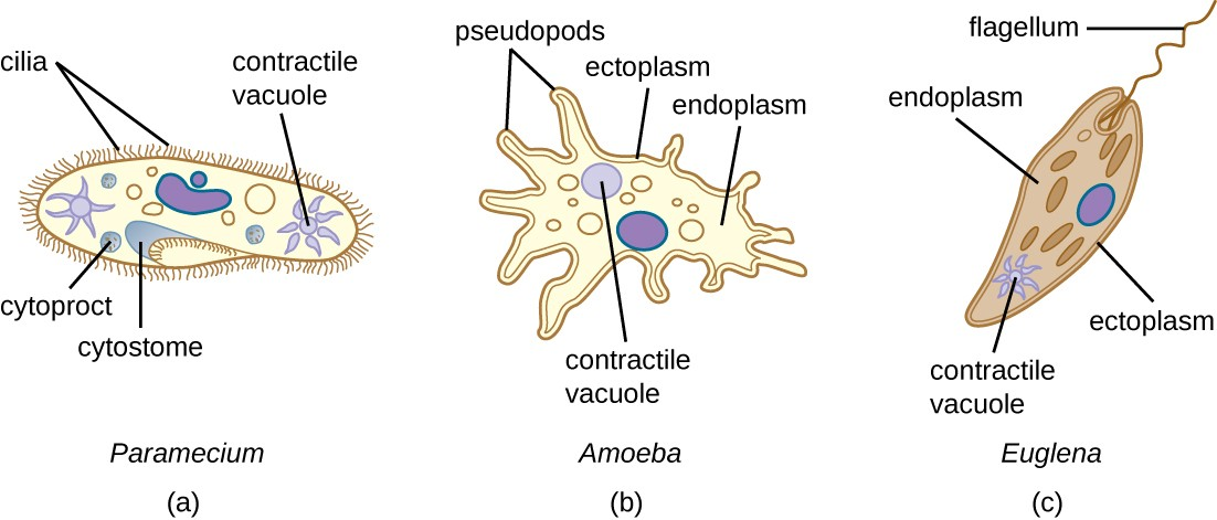 a) Paramecium cell with short strands on the outside labeled cilia. An indent in the outer layer is labeled cytostome. A sphere inside the cell at the base of the cytostome is labeled cytoproct. A star shaped structure inside the cell is labeled contractile vacuole. B) Amoeba cell with projections on the outside labeled pseudopods. The outer layer of the cell is labeled ectoplasm and the inner layer is labeled endoplasm. A sphere inside the cell is labeled contractile vacuole. C) Euglena with a single long flagellum on the outside. The outer layer of the cell is labeled etoplasm, the inner layer is labeled endoplasm. A star shaped structure is labeled contractile vacuole.