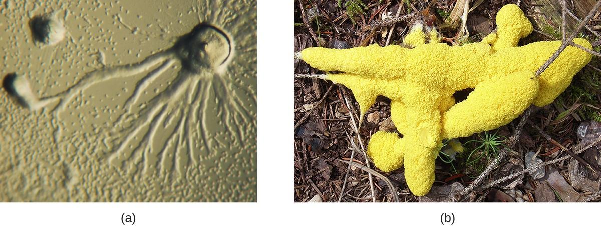 a) A micrograph wshwoing a circular dome with long branches emanating outward. B) A photograph showing a yellow structure that looks like foam on a branch.
