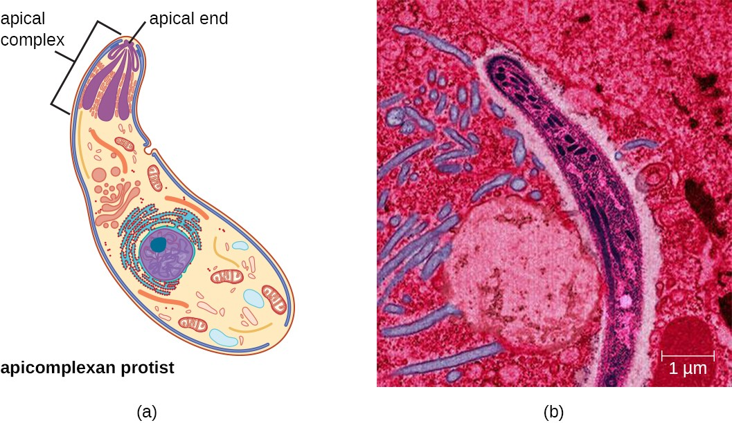 a) A diagram of an apicomlexan protist. The cell is a long oval with an apical complex at the apical end. B) A micrograph of the protist showing a long oval.