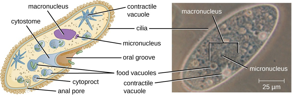 Paramecium cell with short strands on the outside labeled cilia. An indent in the outer layer is labeled cytostome. The outside edge of the cytostome is an indent in the cell labeled oral groove. A sphere inside the cell at the base of the cytostome is labeled food vacuole, another nearby sphere is labeled cytoproct. A smaller opening in the cell is labeled anal pore. A star shaped structure inside the cell is labeled contractile vacuole. A large oval is labeled macronucluus and a smaller oval is labeled micronucleus.