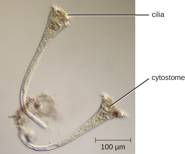 A micrograph of long trumpet shaped cells. The wide part of the cell has an oval structure labeled cytostome and small projections labeled cilia.