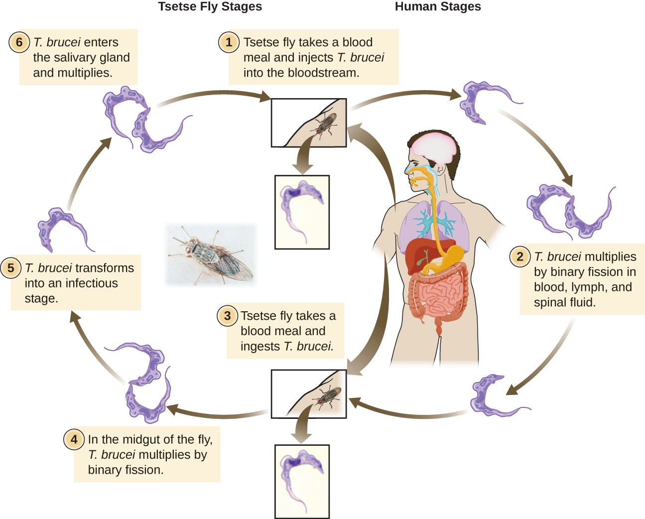 The life cycle of Trypanosoma brucei takes place in both tsetse fly and humans. When the tsetse fly takes a blood meal it inject T. brucei into the bloodstream of a human. There the T. brucei multiplies by binary fission in blood, lymph, and spinal fluid. When another tsetse fly takes a blood meal it ingests T. brucei which multiplies by binary fission in the midgut of the fly. The T. brucei then transforms into an infectious stage which enters the salivary glands and multiplies. This can then be spread to another human.