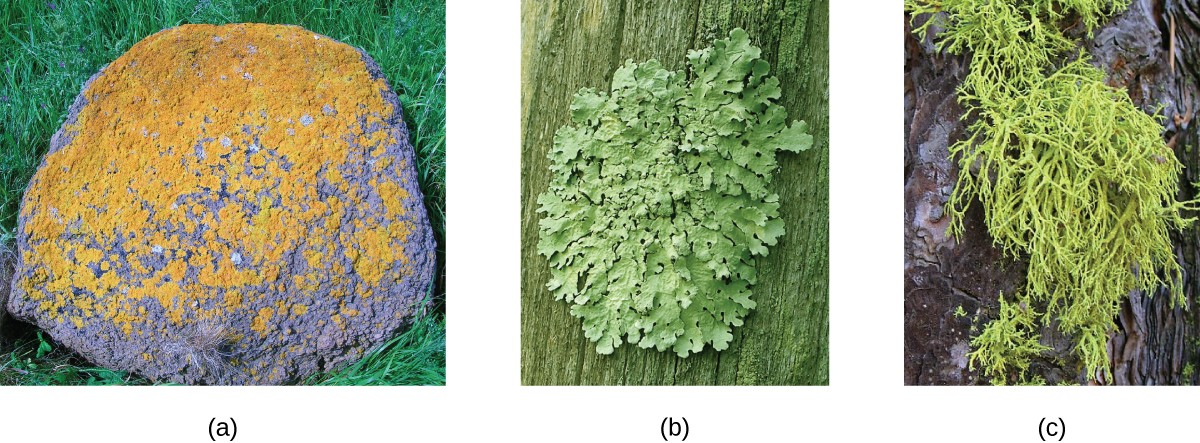 Photographs of lichen. A) is red-orange spots on a rock. B) is green leaf-like structures on a tree. C) is green hair-like structures on a tree.
